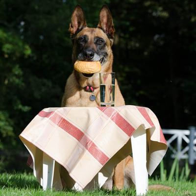 German Shepard picnic